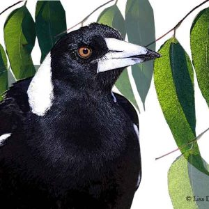 Magpie in the Eucalyptus Tree